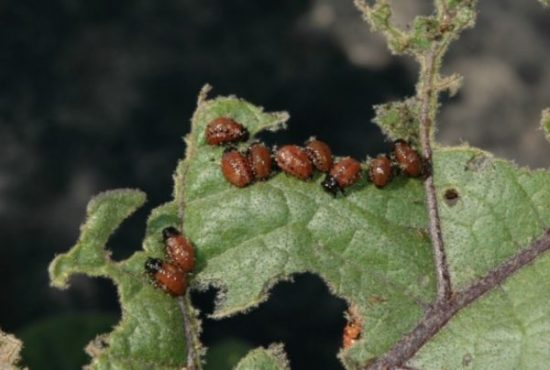 Вредители объели лист баклажанов