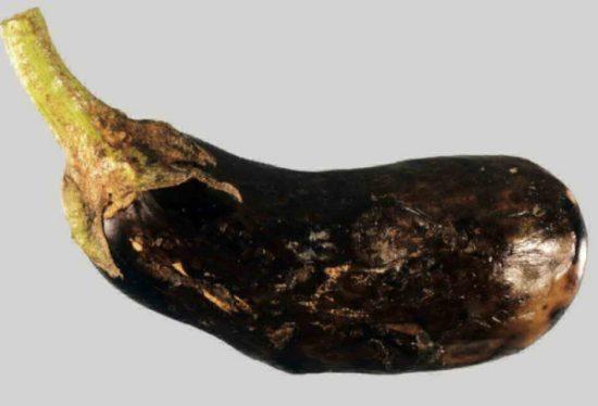 Плод пораженный фитофторозом