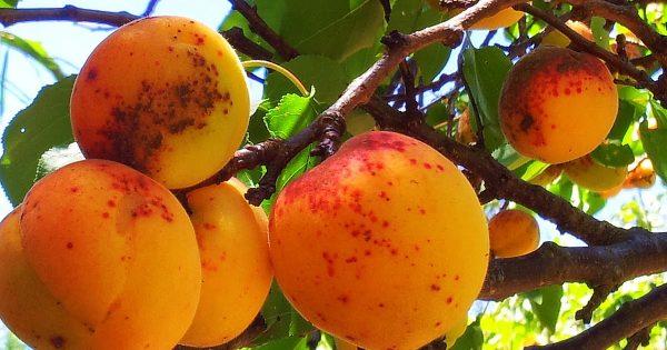Почему на плодах абрикоса появляются коричневые пятна