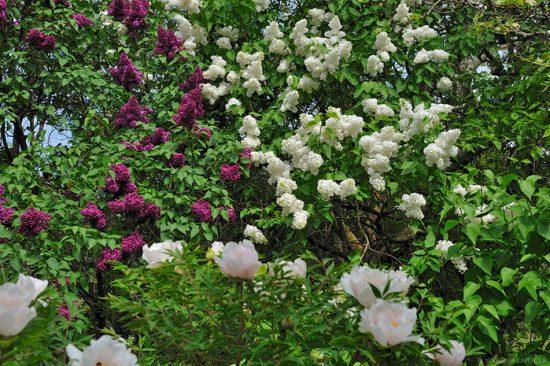 Декоративные кустарники в дизайне сада