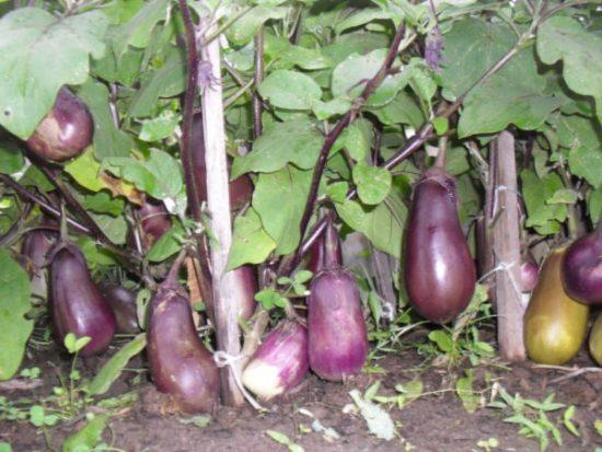 Удобрение баклажан во время плодоношения