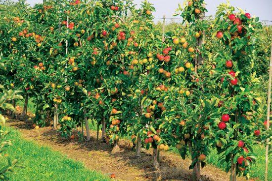 Удобрение плодовых деревьев в саду