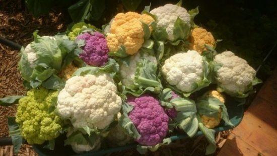 Вилки цветной капусты