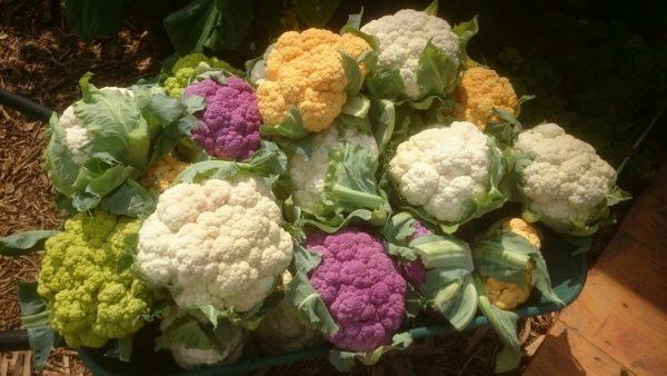 Выращивание и уход за цветной капустой в открытом грунте
