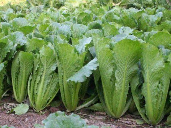 Подкормка поздних сортов капусты