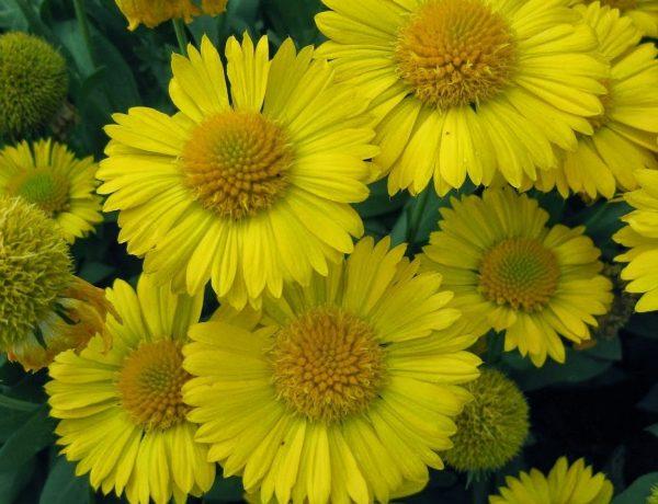 Mesa Yellow