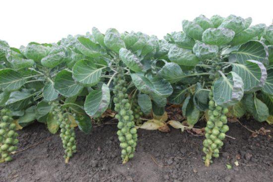Брюссельская капуста: посадка, выращивание и уход