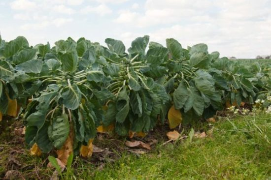 Плантация капусты