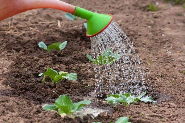полив высаженной рассады