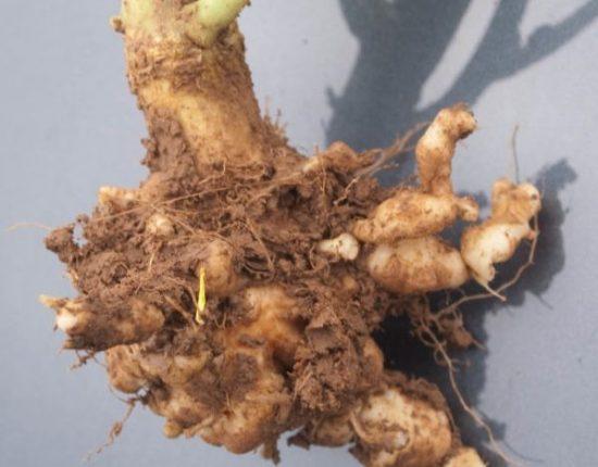 Корень капусты пораженный килой