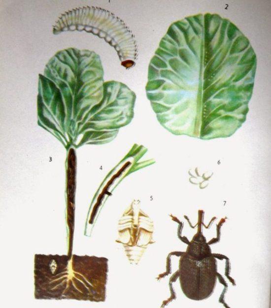 Личинка стеблевого долгоносика