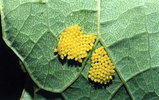 Яйца капустной беляенки