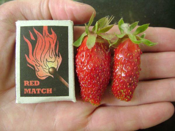 Крупные ягоды