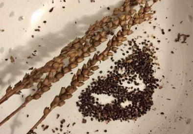semena fizostegii