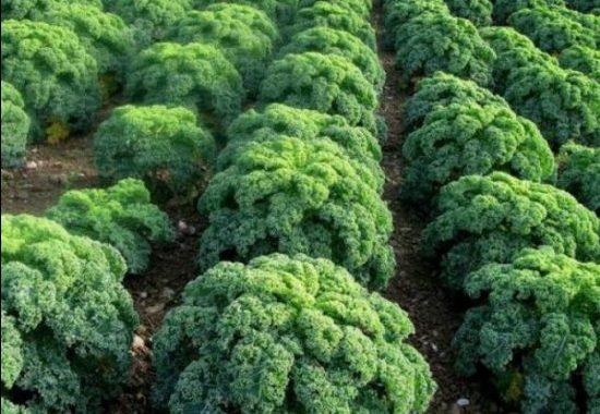 Листовые капусты