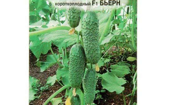20 лучших, урожайных (от 10 кг/м) сортов (гибридов) самоопыляемых (партенокарпических) огурцов для теплиц и открытого грунта