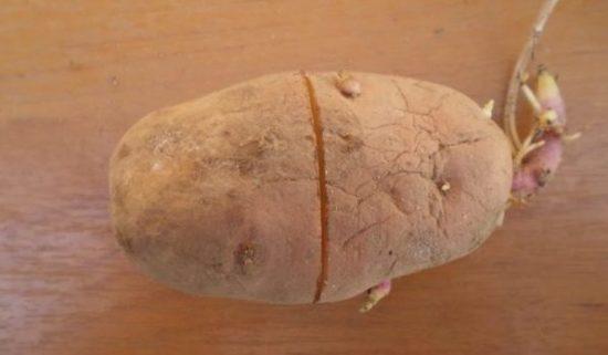 Надрез на картофелине