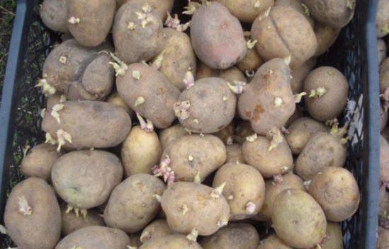 Картошка в ящике на проращивании