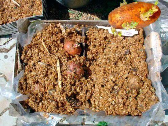 Картофель во влажных опилках