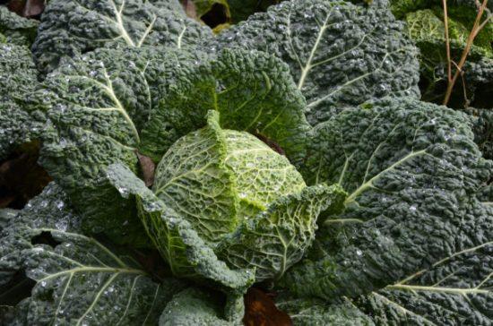 Использование савойской капусты