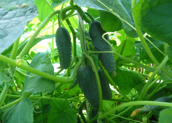 Выращивание Паратунки в теплице