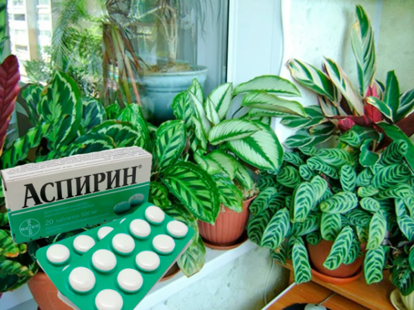 Аспирин для лечения комнатных цветов