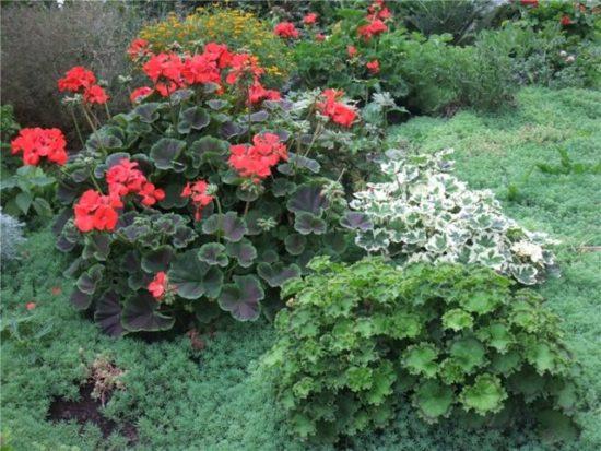 Цветущая герань в саду