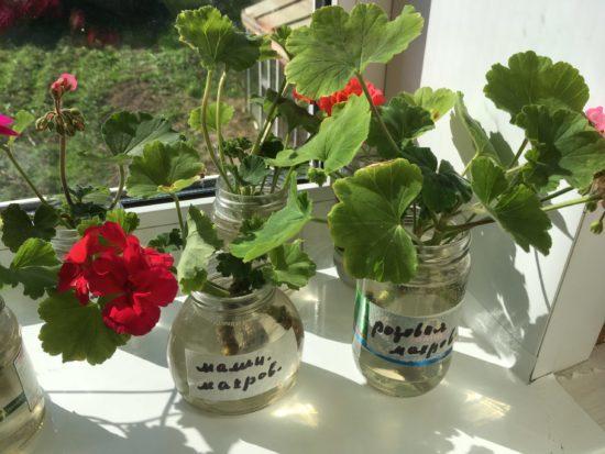 Для лучшего цветения поливайте герань йодом