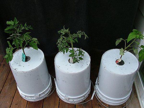 Посадка помидоров в контейнеры