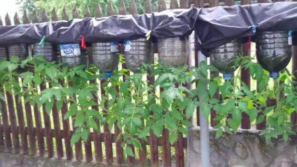 Помидоры на заборе