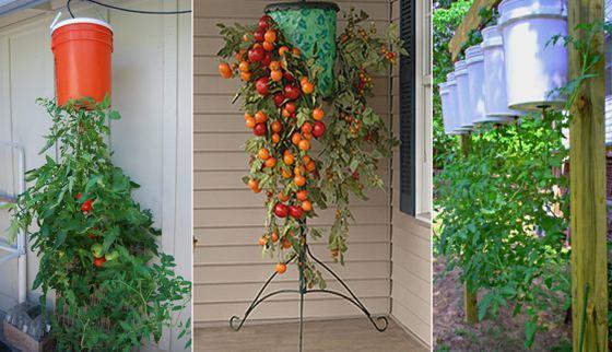 Зачем люди выращивают помидоры вверх ногами