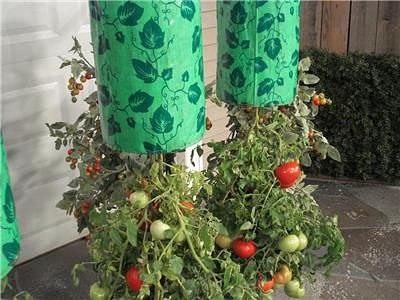 pomidory vverh nogami