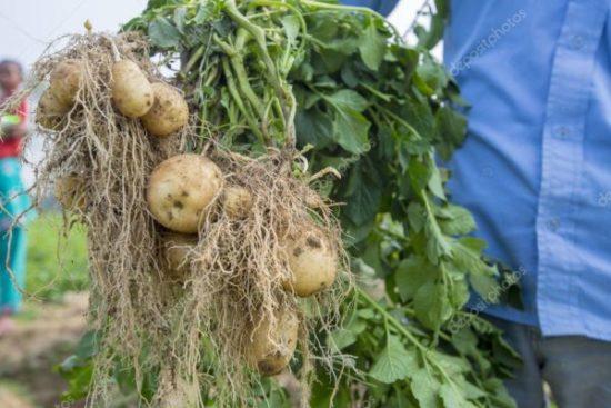 Какое удобрение вносить в лунку при посадке картофеля