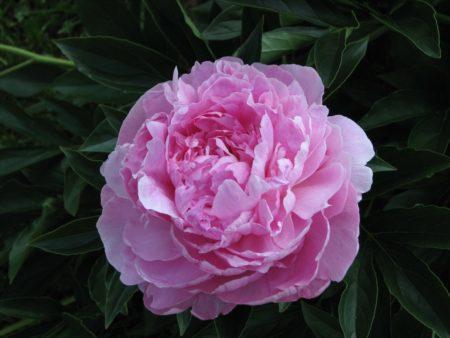 Розовидное соцветие