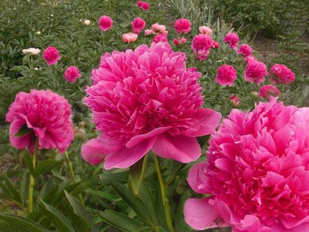 Шаровидный цветок