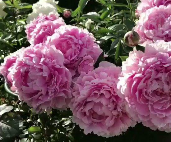 Розовое облако