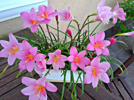 Зефирантес (Выскочка): уход за цветком в доме и открытом грунте