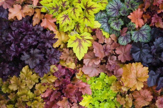 На фото листья гейхеры