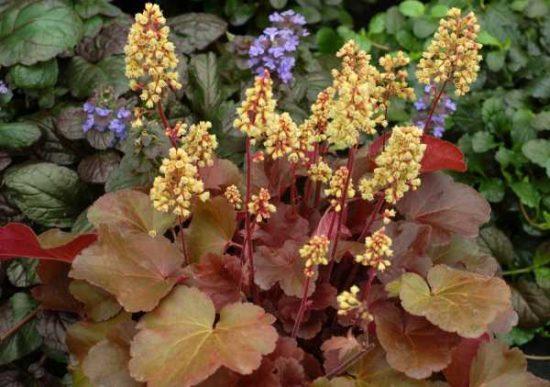Соцветия гейхеры