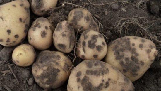 Черная парша на картошке