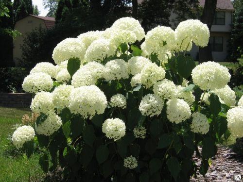 Белая гортензия Белый шар