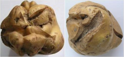 Клубни поврежденные корневым клещем