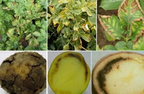 Болезни картофеля в картинках: описание и способы лечения