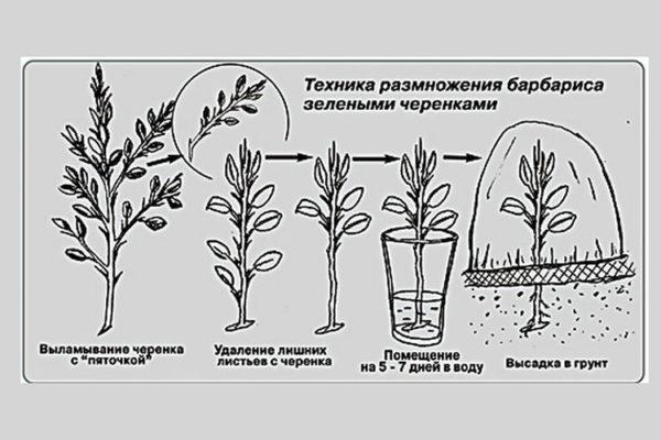 Технология размножения зелеными черенками
