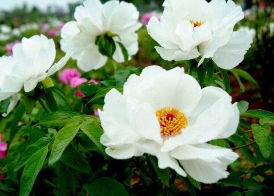 Пион древовидный Запах лилии