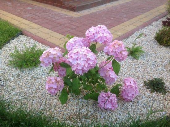 Гортензия садовая (крупнолистная): посадка и уход в открытом грунте