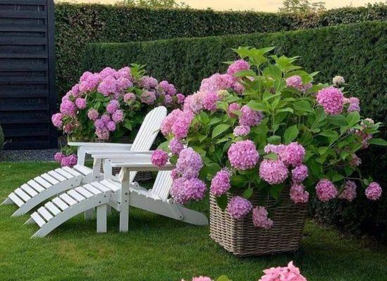 Гортензия с розовыми цветками