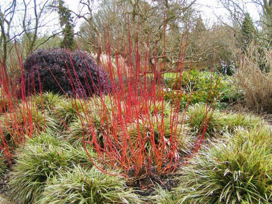 Растение с красными побегами