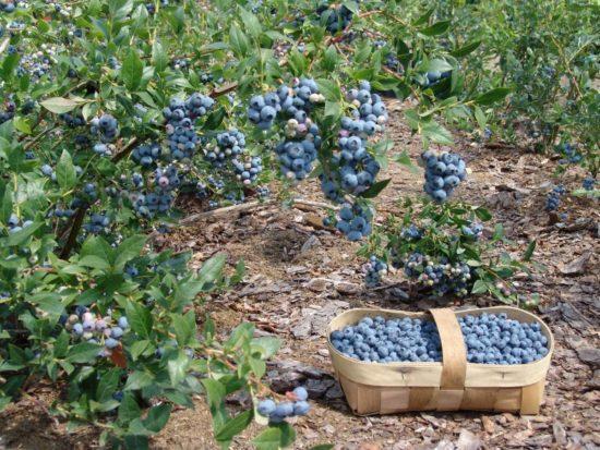 Голубика садовая: посадка и уход, фото, агротехника выращивания