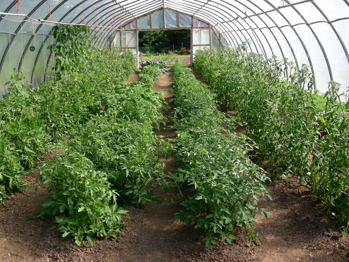 схема рассадки помидор в теплице